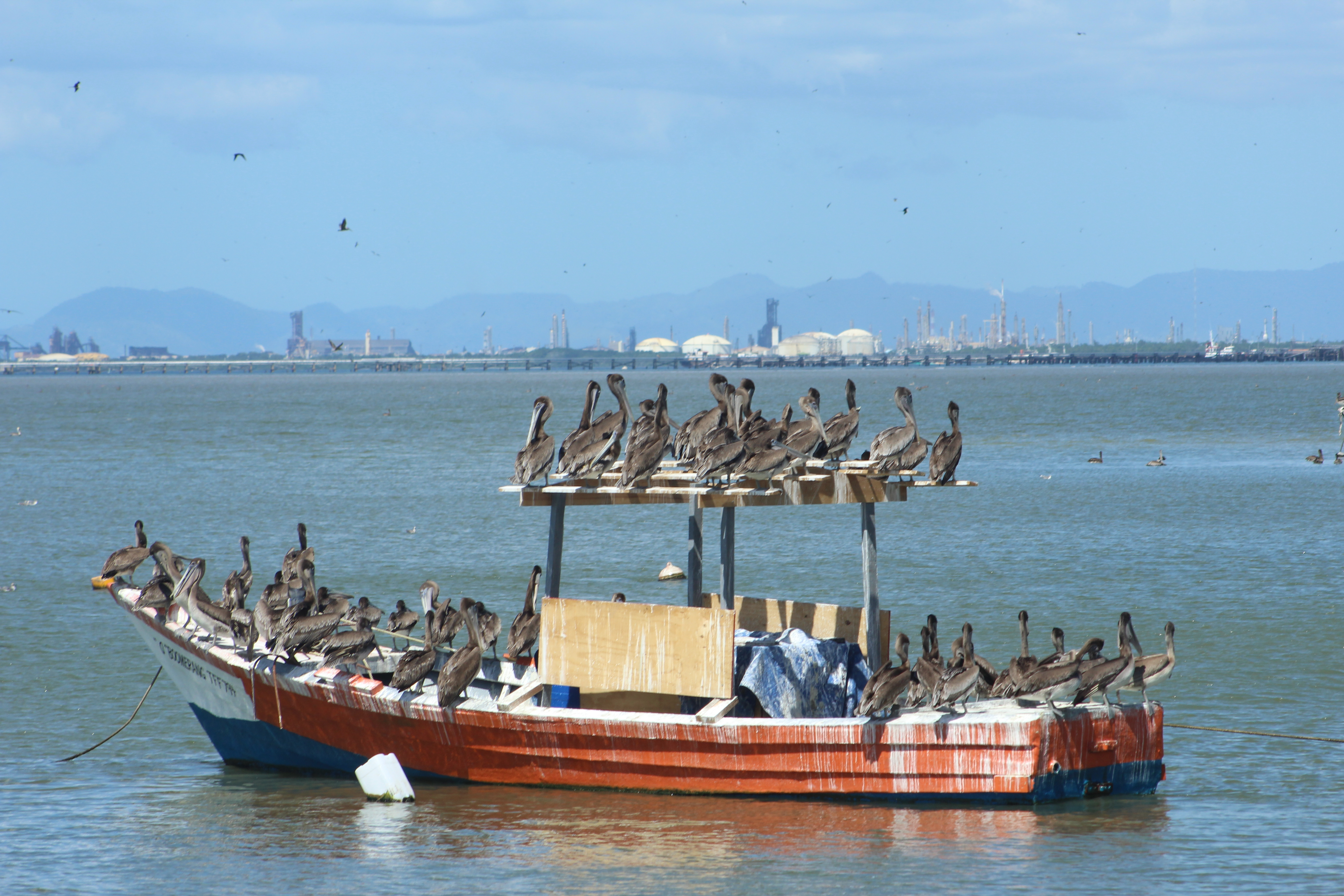 Pelicans on Boat.